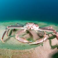 snow-crab-shutterstock